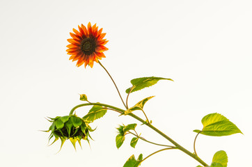 Sunflower plant in summer isolated on white background