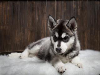 siberian husky puppy on wood background