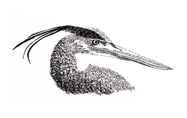 Drawing of Great Blue Heron in pen and ink.