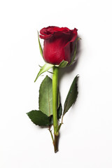 Single red rose on a plain white background