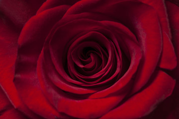 Close up of a red rose flower