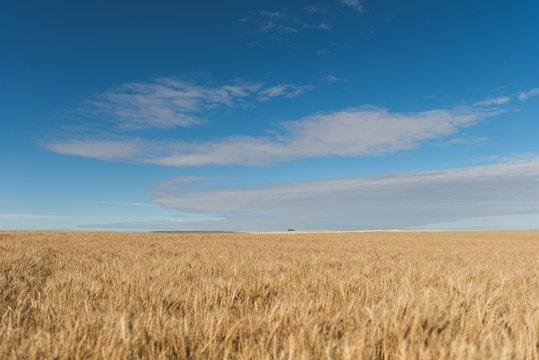 Fresh crop of wheat in wheat field