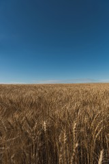 Fresh crop of wheat in wheat field