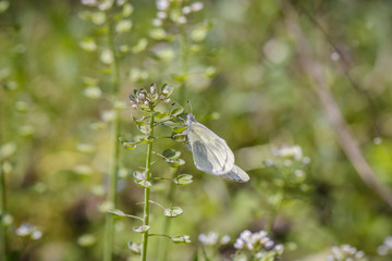 white Butter fly