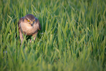 Fototapete - Sparrowhawk, UK wild not captive, hunting