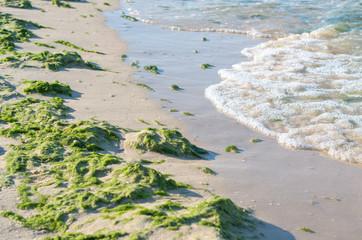 sea beach polluted with green algae, surf.