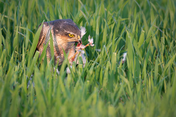 Fotoväggar - Eating Sparrowhawk, UK wild not captive Hawk with prey