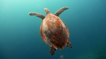 Sea turtle swimming underwater in the sea. Turtle moves its flippers in the ocean under water in the rays of the sun. Wonderful and beautiful underwater world. Diving and snorkeling the tropical sea