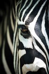 Papiers peints Zebra Frontales Teilportraits eines Zebras