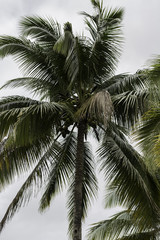 Palm tree full of coconuts