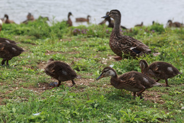 Brown mother duck and ducklings walking in the grass