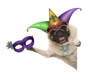 Mardi gras pug dog with carnival jester hat, venetian mask, harlequin jester hat and beads necklaces, isolated on white background