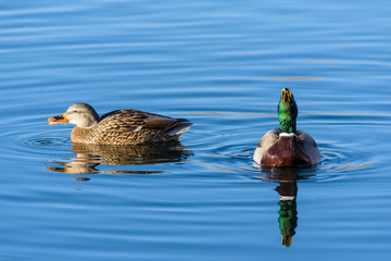 Mallard Hen and Mallard Drake Enjoying a Morning Swim in the Lake.