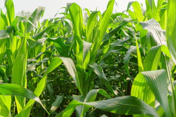 Green leaves of young corn in the field