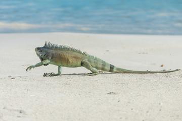 Green iguana walking the sand, Guadeloupe