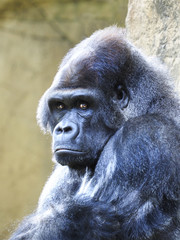 Closeup Portrait of a Male Silverback Gorilla,Looking at you