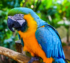 Blue-and-yellow macaw. Coloreful Macaw parrot