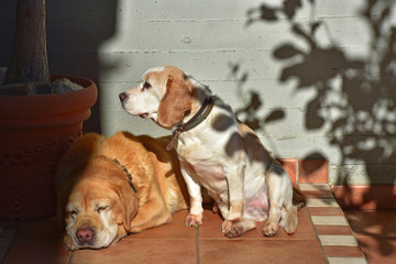 Female beagle dog and male labrador sitting in the sun.