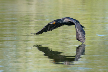 Double-crested Cormorant Gliding Above The Water