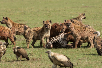 Zelfklevend Fotobehang Hyena hyenas dividing the carcass of a dead zebra on the grasslands of the Maasai Mara, Kenya