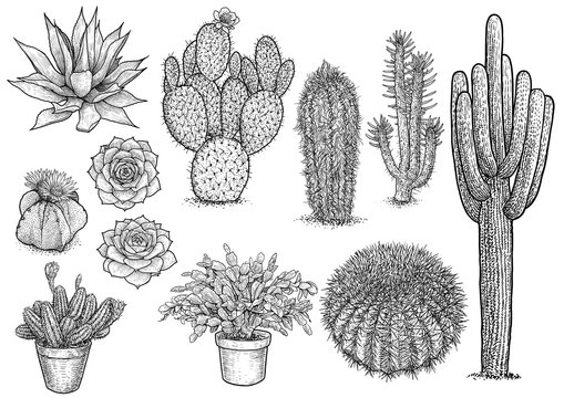 cactus nad succulent illustration, drawing, engraving, ink, line art, vector