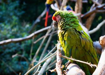 Macow parrot bird