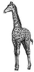 black and white engrave isolated giraffe illustration