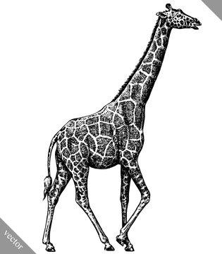 black and white engrave isolated giraffe vector illustration