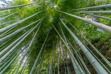 Bamboo grove at Engaku-ji zen buddhist Temple. Kamakura, Kanagawa Prefecture, Japan