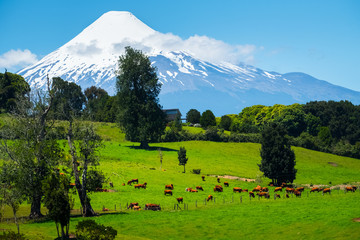 Wall Mural - Cows grazing on the green meadow with volcano on the background. Volcano of Osorno, Chile