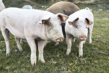 Small pigs and their mother running in the grassy field and grazing grass