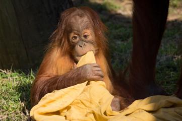 Baby Orangutan with his blanket