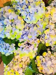 Bouquet of beautiful Hydrangea Flowers