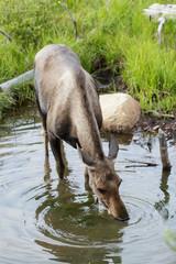 Shiras Moose of The Colorado Rocky Mountains