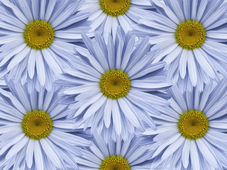 Floral background of light blue chamomiles.  Close-up.  Flower composition. Nature.