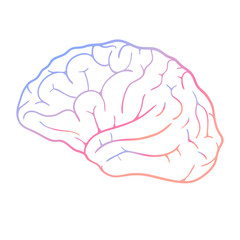 Human brain on white background. Vector illustration
