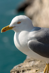Close up of a Seagull on the Cliff