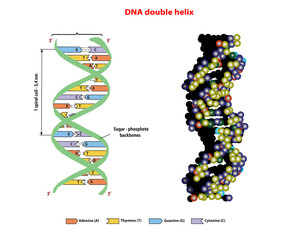 DNA structure double helix in 3D  on white background. Nucleotide, Phosphate, Sugar, and bases. education vector info graphic. Adenine, Thymine, Guanine, Cytosine.