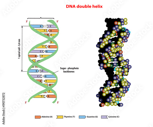 dna structure double helix in 3d on white background nucleotide