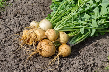 Turnips grown in the garden lying on the ground