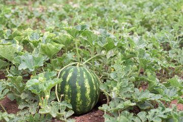 Watermelon plant in a garden
