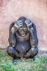 Western lowland gorilla is thinking