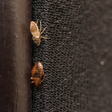 Cimex lectularius or bed bug changed skin