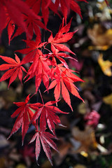 Bright red branch of Japanese maple or Acer palmatum