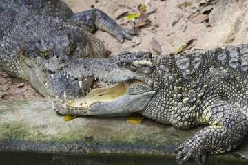 Crocodiles on hunting