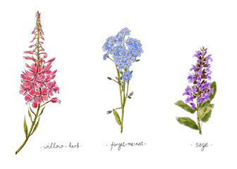Wild plants and flowers hand drawn in color. Willow, forget-me-not and sage. Herbal vector illustration.