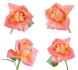 rose set isolated on white