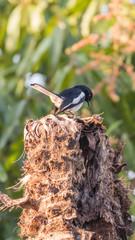 Bird (Oriental magpie-robin) in a nature wild