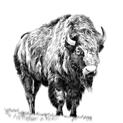 Buffalo standing in the grass, sketch vector graphics monochrome drawing
