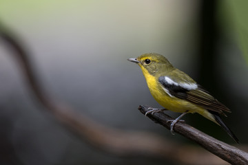 Green-backed Flycatcher male bird, very rare species found at Phatthalung province, southern of Thailand.